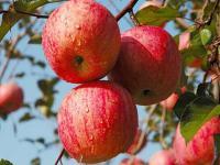 """描写""""苹果""""的好词好句"""