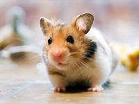 """描写""""老鼠(仓鼠)""""的好词好句"""