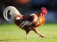 """描写""""鸡""""的好词好句"""