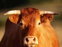 """描写""""牛""""的好词好句"""