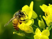 """描写""""蜜蜂""""的好词好句"""