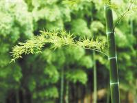 """描写""""竹子""""的好词好句"""