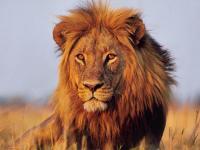 """描写""""狮子""""的好词好句"""