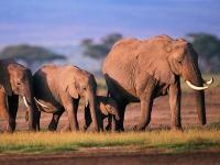 关于非洲象的一些有趣知识