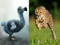 别让猎豹像渡渡鸟那样绝迹